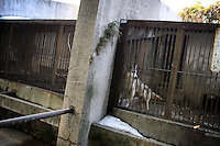CHINA. Hubei Province. Wuhan. A wolf in an enclosure in Wuhan zoo. In many of China's 'second-tier' cities, away from the modern zoos in the megacities of Beijing and Shanghai, hide a plethora of smaller unknown zoos. In these zoos, what can only be described as animal abuse is subtly taking place in the form of deprivation of light, space, sanitation and social contact with other animals. Living in awful conditions, these animals spend there days entertaining tourists who seem oblivious to the animals' plight and squalid existence. 2008.