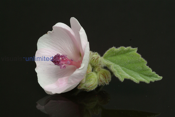 Marshmallow plant -  medicinal plant -  herb -  Althaea officinalis -  Altea -