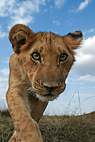 Lion cub aged 9 months approaching with curiosity (Panthera leo), Maasai Mara National Reserve, Kenya.