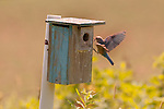 Eastern Bluebird at box