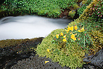 Stream and Mountain monkey flowers , Mt. Rainier National Park, Washington, USA