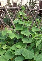 Cucumbers on woven lattice trellis