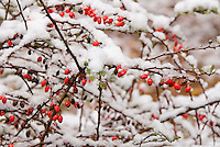 Red berries of Berberis thunbergii barberry in winter cold snow and ice