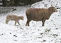 2013_02_10_snowy_lambs