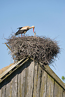 White stork (Ciconia ciconia) adult feeding chick at nest on old barn. Nemunas regional park, Lithuania. Mission: Lithuania, June 2009