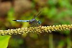 Blue Dragonfly, Blue Dasher male, Pachydiplax longipennis, Huntsville, Alabama