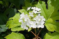 Hydrangea quercifolia Little Honey yellow foliage, in flower