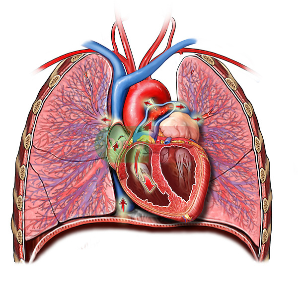 Lungs And Heart Gallery