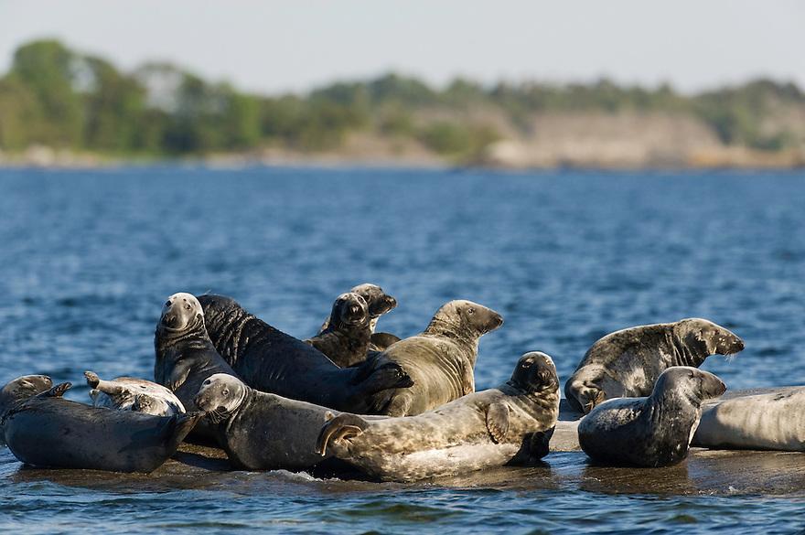 Grey seal (Halichoerus grypus).<br /> Stockholm Archipelago, Sweden