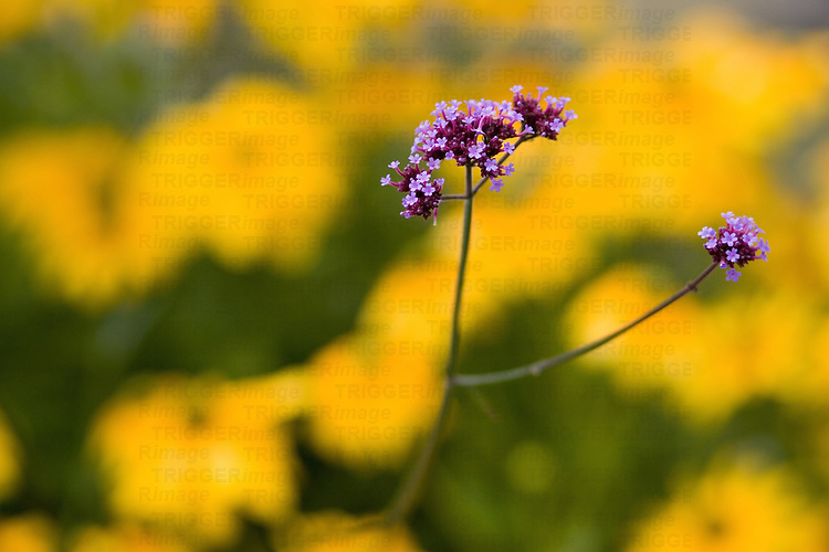 Purple flower with yellow background