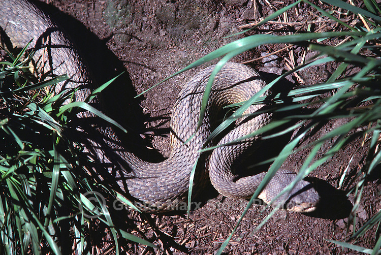 Bullsnake (Pituophis catenifer sayi) slithering on Ground through Grass