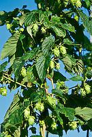 Hops plant, Humulus lupulus.