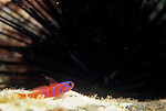San Clemente Island, California; Bluebanded Goby (Lythrypnus dalli) , Copyright © Matthew Meier, matthewmeierphoto.com All Rights Reserved