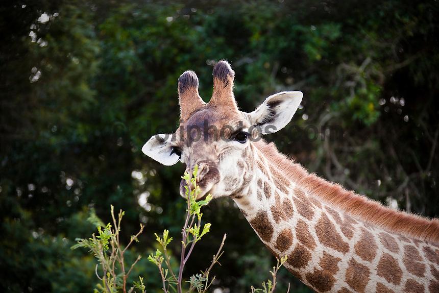 A giraffe at Seaview Lion Park, (Thursday 9th July 2009), Eastern Cape, South Africa ,   Photo: joliphotos.com