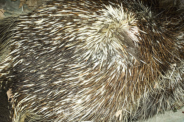 Porcupine quills and teeth, Erethizon dorsatum