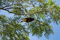 Yellow-rumped Cacique (Cacicus cela)
