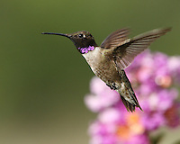 Black-chinned Hummingbird (Archilochus alexandri) and myrtle blossoms.