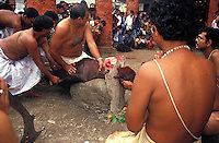 INDIA (West Bengal - Calcutta)  2006, Buffelow sacrifice at Roychowdhury family house (Roychowdhury's boast the ownership of the village called Kolikata now Calcutta 300 years back before they sold thevillage to Job Charnok the British trader) on the occassion of Durga Puja Festival. Durga Puja Festival is the biggest festival among bengalies.  As Calcutta is the capital of West Bengal and cultural hub of  the bengali community Durga puja is held with the maximum pomp and vigour. Ritualistic worship, food, drink, new clothes, visiting friends and relatives places and merryment is a part of it. In this festival the hindus worship a ten handed godess riding on a lion armed wth all possible deadly ancient weapons along with her 4 children (Ganesha - God for sucess, Saraswati - Goddess for arts and education, Laxmi - Goddess of wealth and prosperity, Kartikeya - The god of manly hood and beauty). Durga is symbolised as the women power in Indian Mythology.  In Calcutta people from all the religions enjoy these four days of festival in the moth of October. Now the religious festival has become the biggest cultural extravagenza of Calcutta the cultural capital of India. Artistry and craftsmanship can be seen in different sizes and shapes in form of the idol, the interior decor and as well as the pandals erected on the streets, roads and  parks.- Arindam Mukherjee