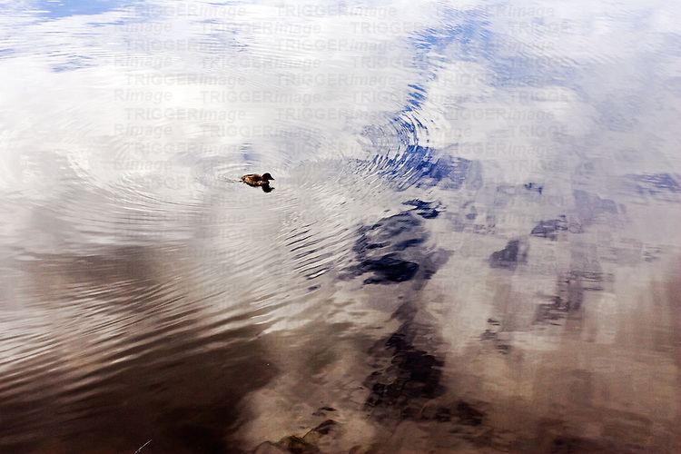 Duck swimming on a lake with nice reflections on the water surface.