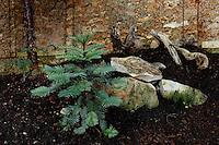 Plant History Glasshouse (formerly Australian Glasshouse), 1830s, Rohault de Fleury, Jardin des Plantes, Museum National d'Histoire Naturelle, Paris, France. Detail of conifer growing near rocks in the glasshouse