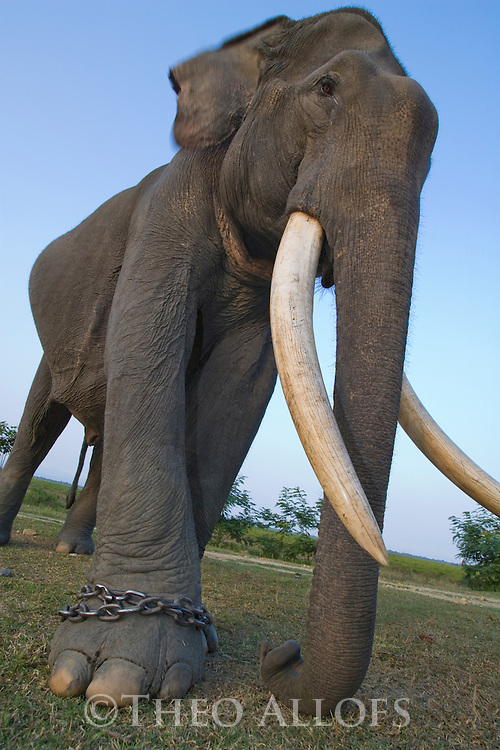 India, Kaziranga National Park, Indian working elephant (Elephas maximus indicus) on chain; this animal is used for carrying tourists and patrolling wildlife in Kaziranga National Park