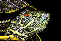 1R12-020z  Red Eared Turtle - close-up of head - Chrysemys scripta