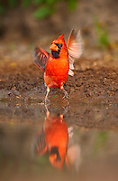 511650076 a wild male northern cardinal cardinalis cardinalis takes off from small pond after bathing in the rio grande valley in south texas