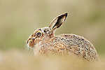Brown Hare Lepus europaeus sitting in field in side-profile showing prominent facial wart., Suffolk, March