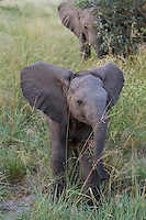 Juvenile African elephants walking in the tall grass, Botswana, Africa