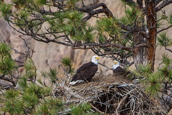 Bald Eagle Nest (Haliaeetus leucocephalus)--with both adults in tall ponderosa pine tree.  Oregon.  April.