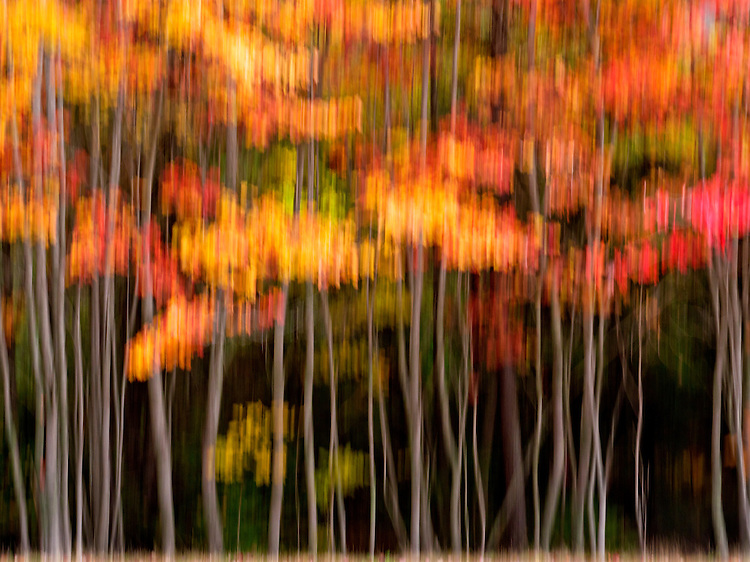 Abstract movement of trees donning vibrant fall colors in Acadia National Park, Maine, USA