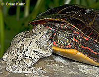 1R24-9056  Eastern Gray Treefrog - with painted turtle - Hyla chrysoscelis or Hyla versicolor,  © Brian Kuhn/Dwight Kuhn Photography