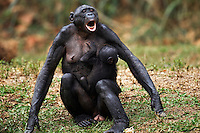Bonobo female carrying a baby and calling (Pan paniscus), Lola Ya Bonobo Sanctuary, Democratic Republic of Congo.