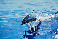 pantropical spotted dolphin calf, Stenella attenuata, jumping, Kona Coast, Big Island, Hawaii, USA, Pacific Ocean