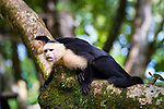 The Corcovado Nature Preserve on the Osa Peninsula of Costa Rica, Central America. Wild capuchin monkeys