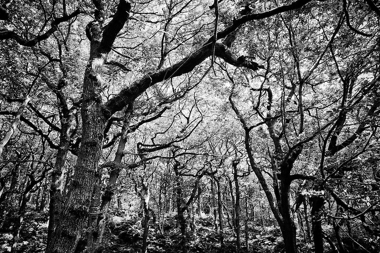 Autumn Ancient Woodland with tangled branches