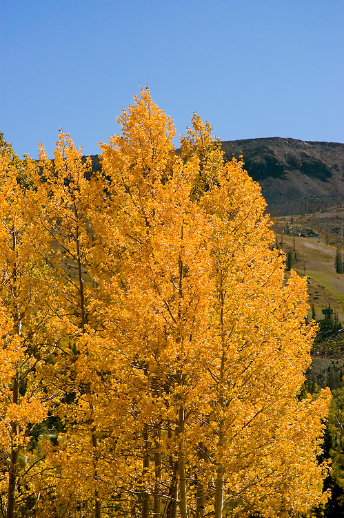 Golden Aspen leaves, aspen trees in fall, white bark, autumn, fall leaves, Utah, UT, Image ut316-18885, Photo copyright: Lee Foster, www.fostertravel.com, lee@fostertravel.com, 510-549-2202
