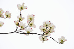 I enjoy the challenge of isolating elements of the larger landscape, often winnowing down a subject to its most elegant form.  After settling upon this composition, I waited for a passing cloud to provide yet one more layer of simplicity, enabling graceful lines within each dogwood blossom to stand on its own merits. (Washington)