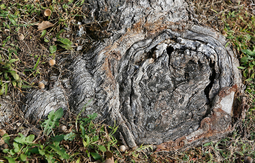 NWA Democrat-Gazette/DAVID GOTTSCHALK  The portion of a root for a more than 150 year old White Oak Tree Monday, October 26, 2015, on South Armstrong Avenue in Fayetteville. Kathryn Scherer, of Fayetteville, is seeking donations towards watering and caring for the tree.