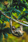 Three-Toed Tree Sloth, Islas Bocas del Toro, Panama