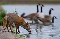 Urban fox (Vulpes vulpes) with Canada Geese (Branta canadensis) in London, United Kingdom