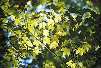 Maple Leaves in Sunshine Backlight