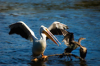 White pelican competing for space with two cormorants on a submerged branch on Sanibel Island. As you can imagine... the pelican won!