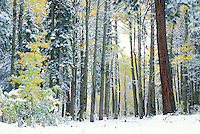 &quot;Snowy Aspens 1&quot;- These snow covered aspens were photographed near the Equestrian Center in Tahoe Donner, CA.<br />