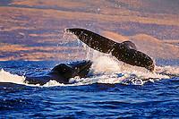 Humpback whales (Megaptera novaeangliae) in rowdy heat run, female whale throwing caudal peduncle toward lunging male near the Big Island