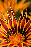 Gazania 'Big Kiss' Yellow Flame drought tolerant flower