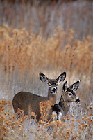 625253014 two wild female mule deer odocoileus hemionus stand in tall dead grasses on a late autumn afternoon in klamath national wildlife refuge in northern california