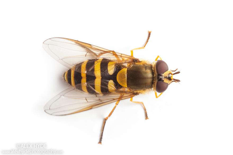 Hoverfly Syrphus Ribesii Alex Hyde