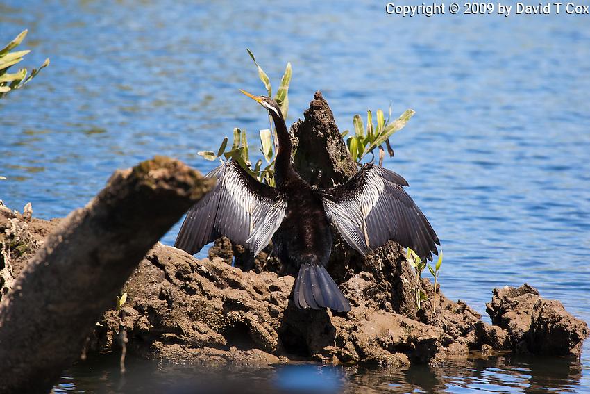 Australasian Darter, Daintree River, Queensland, Australia