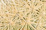 Tucson, Arizona; Teddy-bear Cholla (Opuntia bigelovii) cactus spines